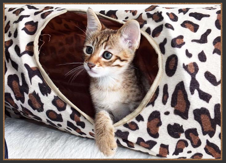 A Sittingpretty Savannah kitten playing in the PAWS Road tunnel