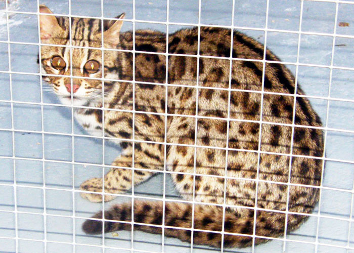 Above: An Asian Leopard Cat in captivity