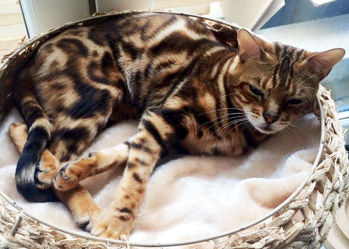 Tri-colour brown marbled Bengal cat Brandy