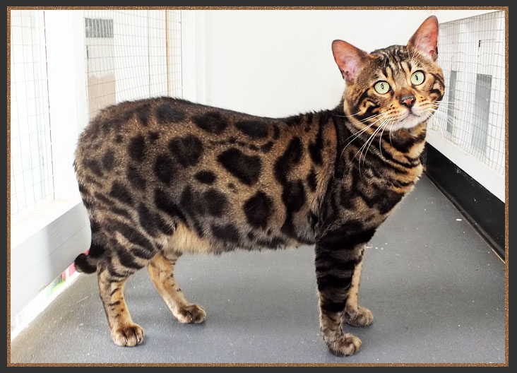 Cool Brown spotted Bengal cat