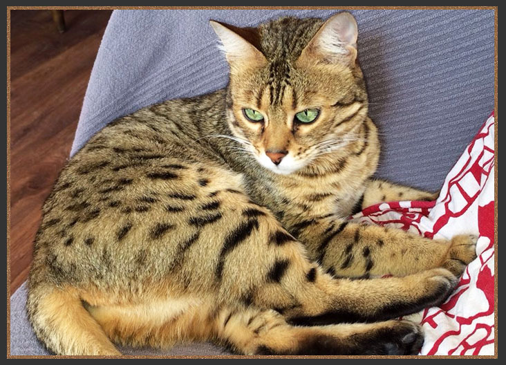Golden Brown spotted Bengal cat