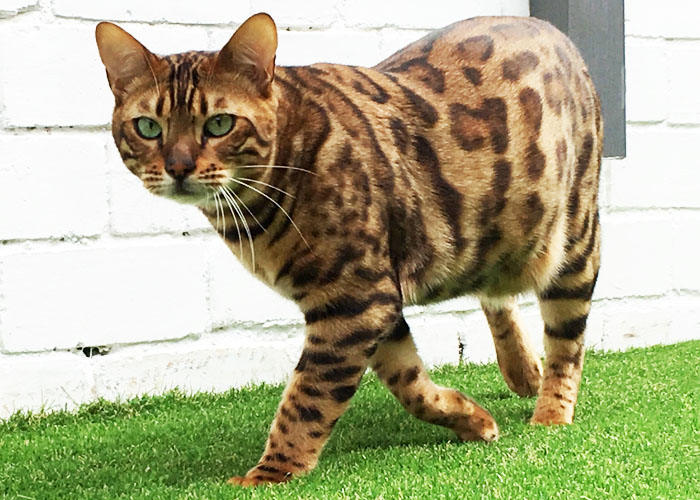 Golden brown spotted Bengal cat Sittingpretty Jazzy Jeff