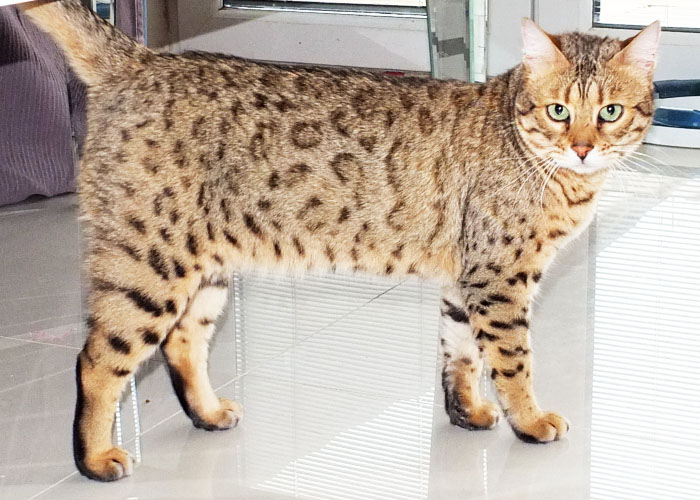 Warm brown spotted Bengal cat Polly