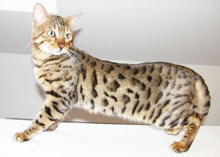 Bengal cat Sittingpretty Button Moon
