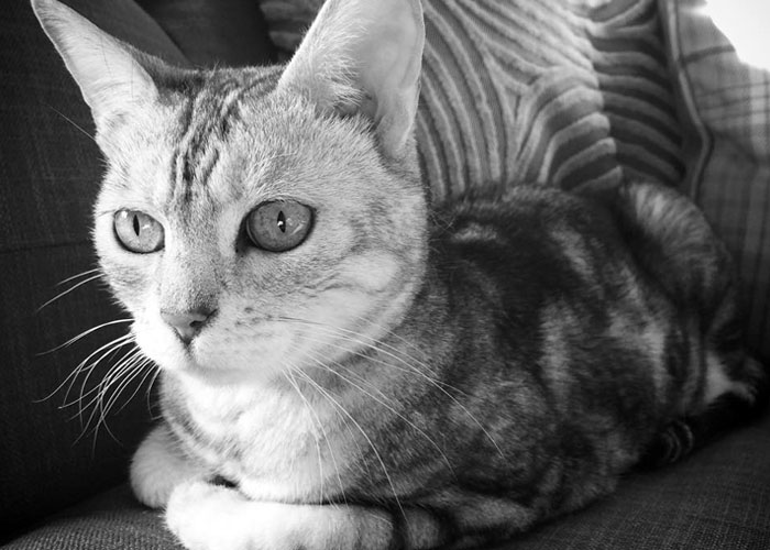 My pet Bengal Twinkle