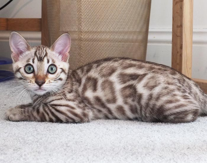 Seal spotted Mink Bengal kitten