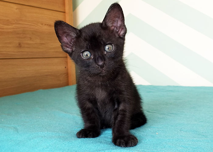 Sittingpretty Black Panther: F3 C Black Savannah boy