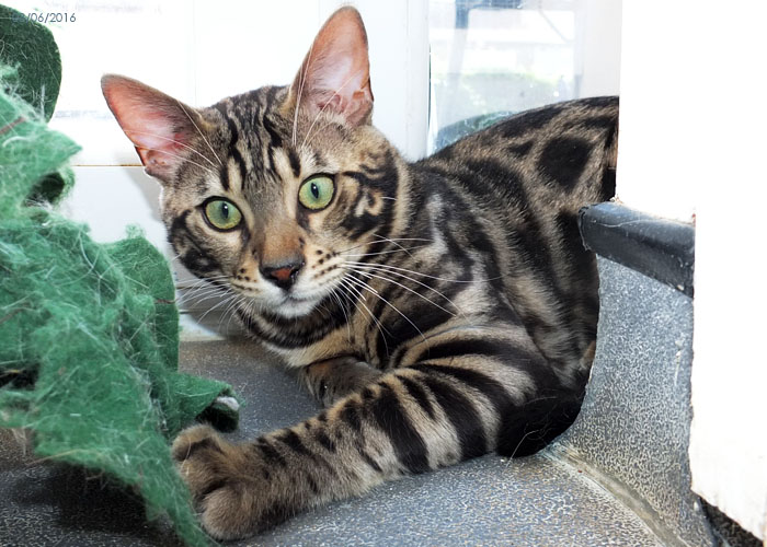 Brown spotted Bengal Sittingpretty Monty Python
