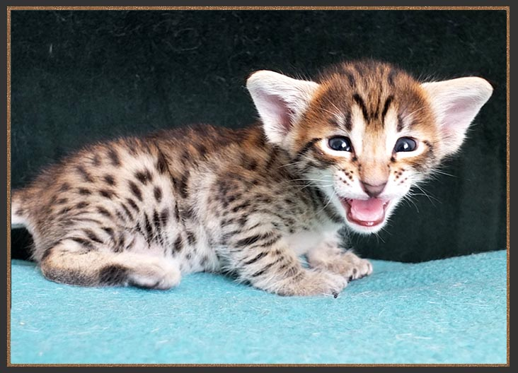 F6 SBT Brown spotted Savannah kitten